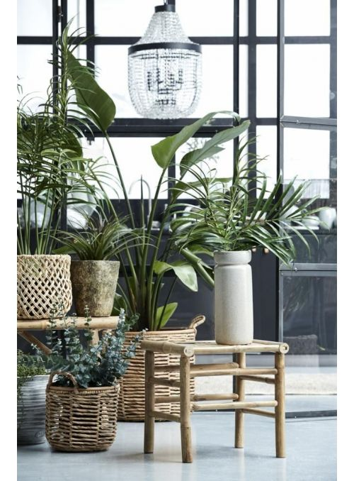 palmier kentia vert